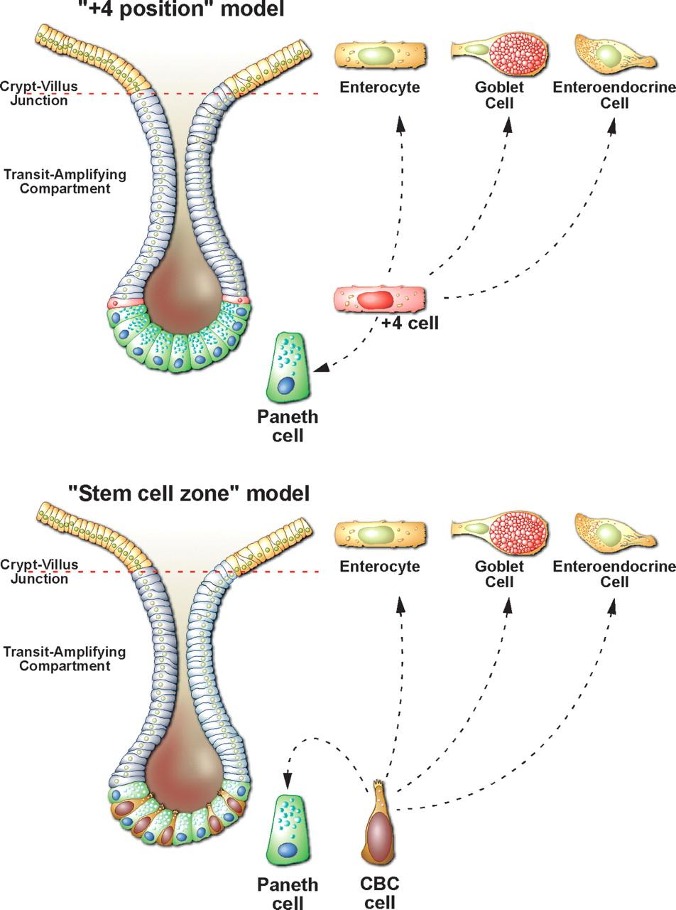 medium resolution of intestine cell diagram