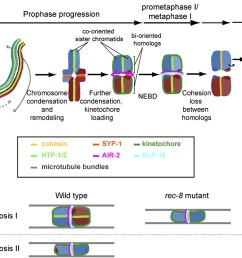 coordinating cohesion co orientation and congression during meiosis lessons from holocentric chromosomes [ 1280 x 841 Pixel ]