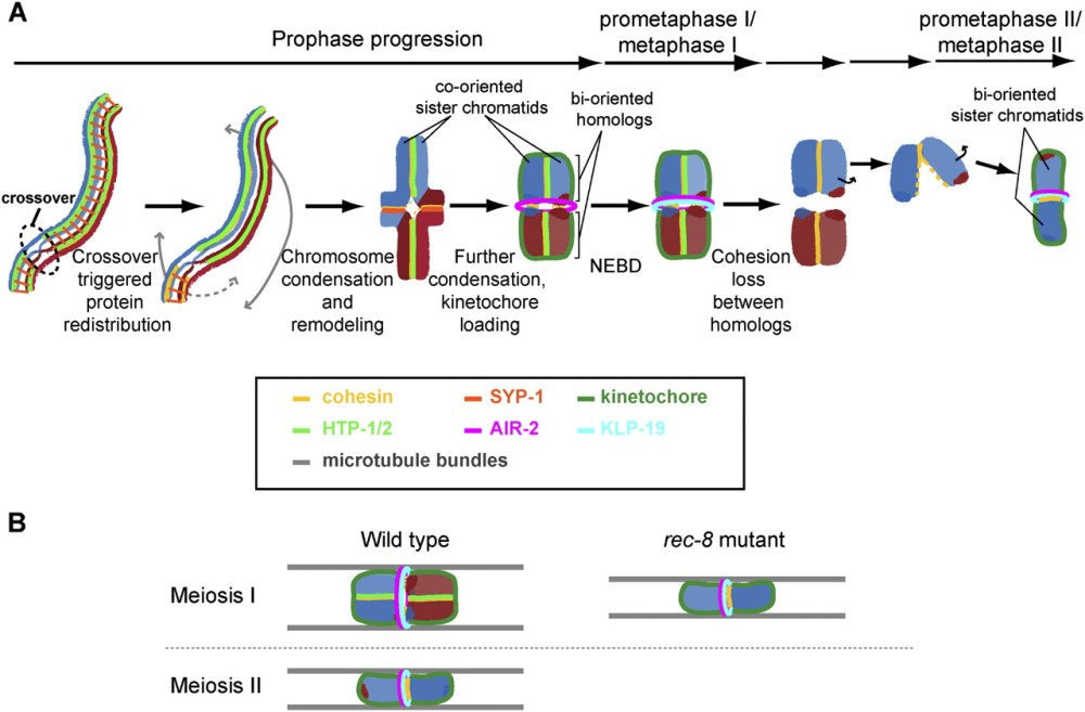 medium resolution of coordinating cohesion co orientation and congression during meiosis lessons from holocentric chromosomes