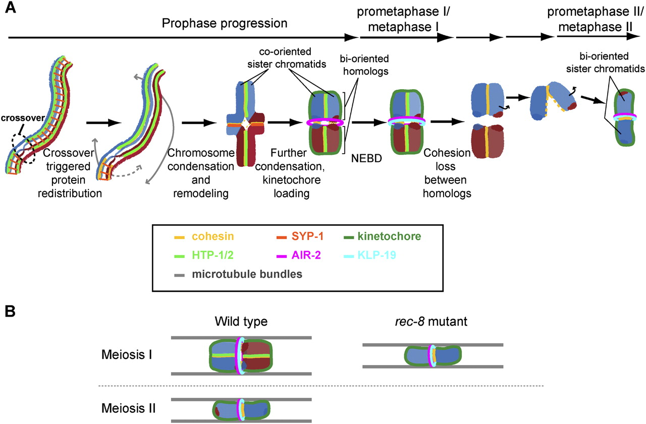 hight resolution of coordinating cohesion co orientation and congression during meiosis lessons from holocentric chromosomes