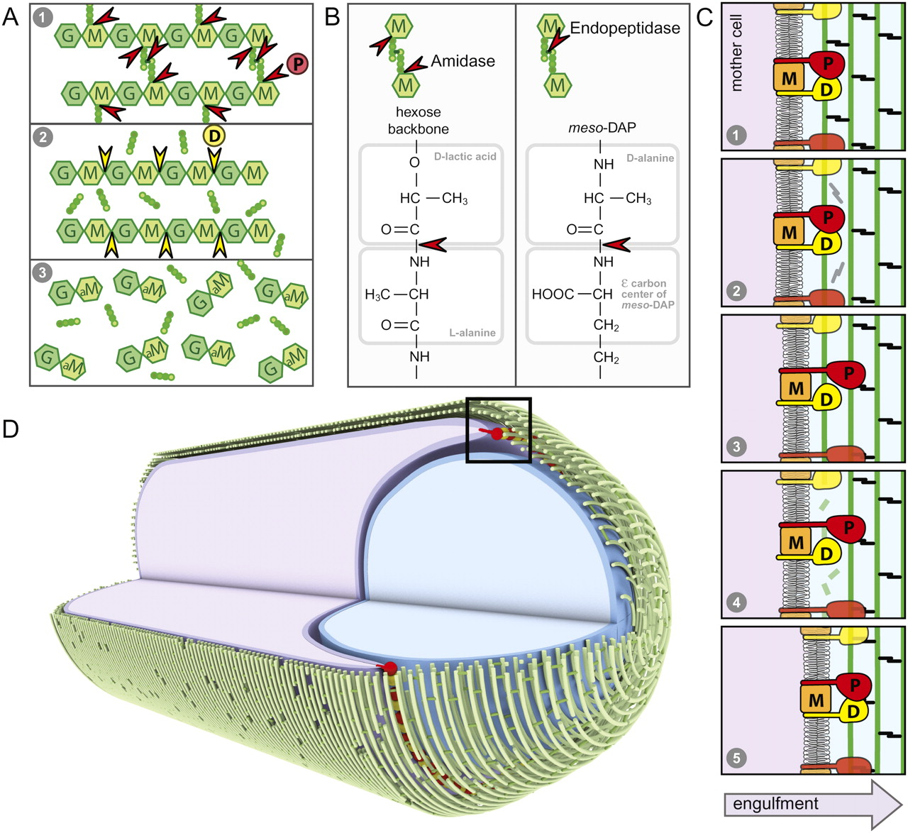 hight resolution of a highly coordinated cell wall degradation machine governs spore morphogenesis in bacillus subtilis