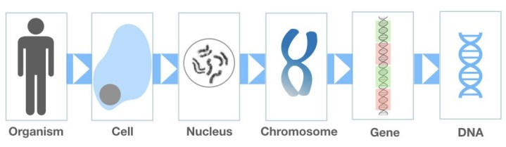 Graphical representation of how DNA arranged on a chromosome.