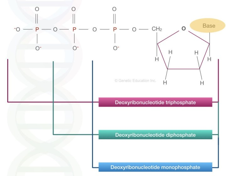 The image represents the structure of Deoxyribose triphosphate, diphosphate and monophosphate.