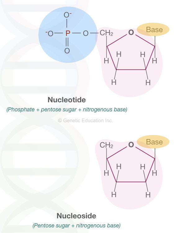 The difference between nucleotide and nucleoside.