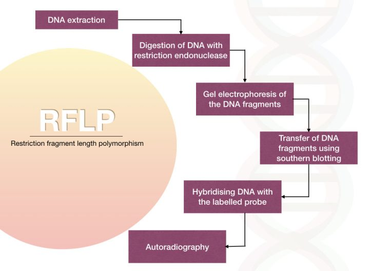 Different steps of restriction fragment length polymorphism RFLP)