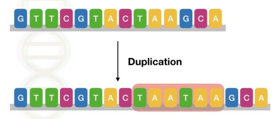 The image shows the type of duplication mutation in a DNA sequence.