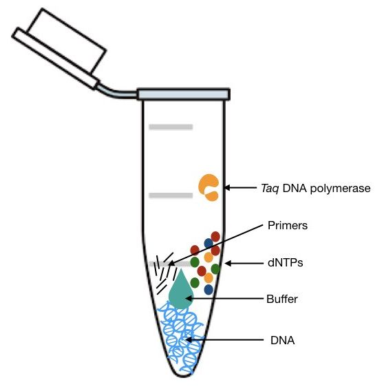 Function of taq DNA polymerase in PCR