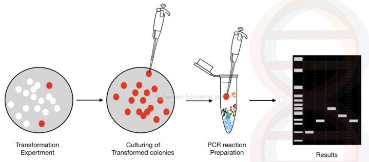 The general overview of the colony PCR method.