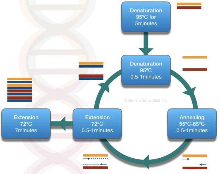 Why Is Pcr Used In The Process Of Dna Sequencing