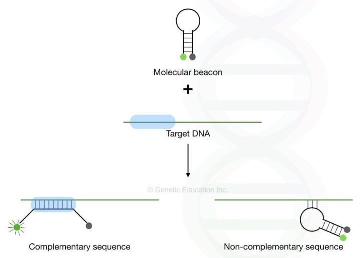 Molecular Beacon: A hairpin that enhances real-time PCR specificity