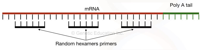 Reverse transcription PCR: Principle, Procedure, Applications, Advantages and Disadvantages