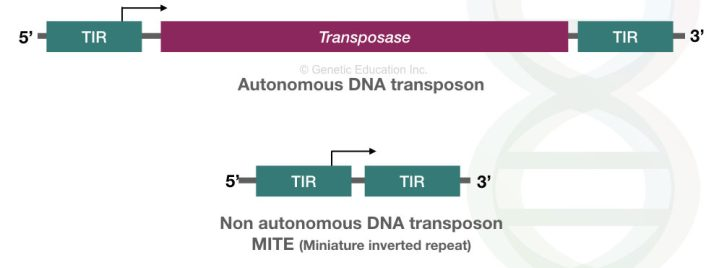 Transposons: A Jumping Entity and a Foe with Benefits