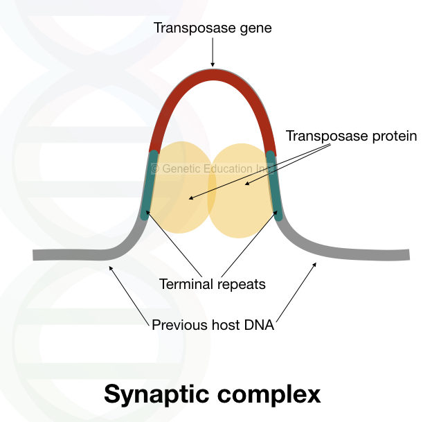 The structure of synaptic complex.