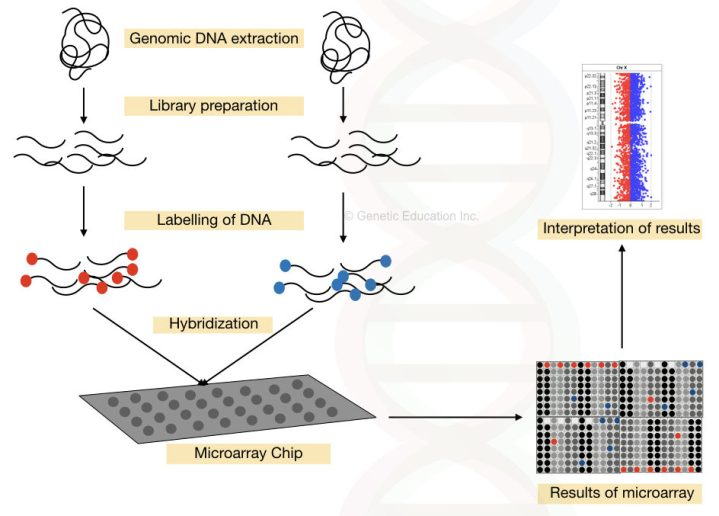 The complete process of DNA microarray