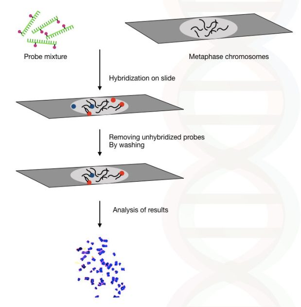 Illustration of the complete process of fluorescence in situ hybridization.