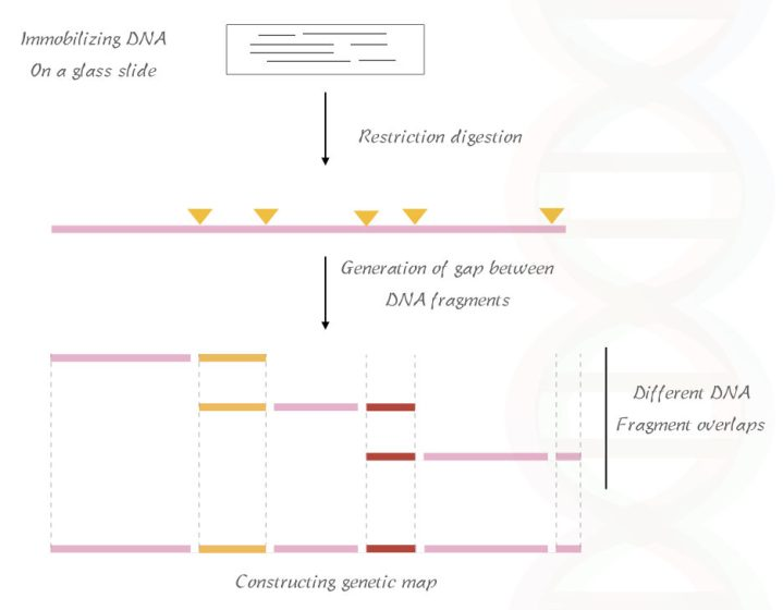 The process of RFLP based optical gene mapping.