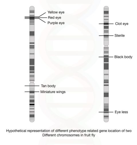 The genetic mapping