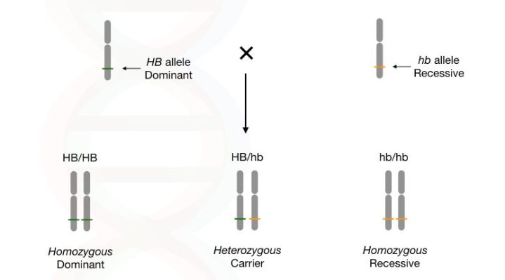 The explanation of homozygous dominant, homozygous recessive and heterozygous.