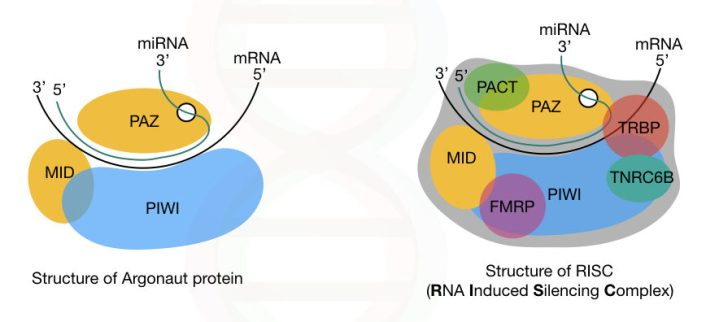 The structure of argonaute protein and RISC.
