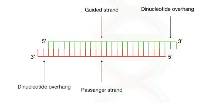 The structure of siRNA having a guided strand, passanger strand and the dinucleotide overhang at the 3 end.