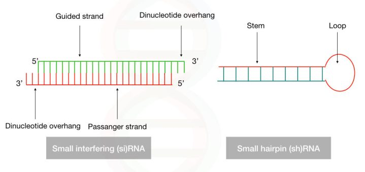 comparison between the structure of siRNA and shRNA.