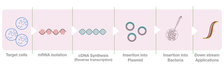 The graphical illustration of the process of cDNA synthesis and library preparation.