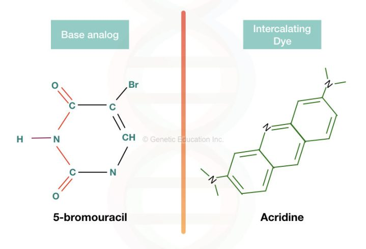 The base analog and intercalating agent, 5- bromouracil and acridine, respectively.
