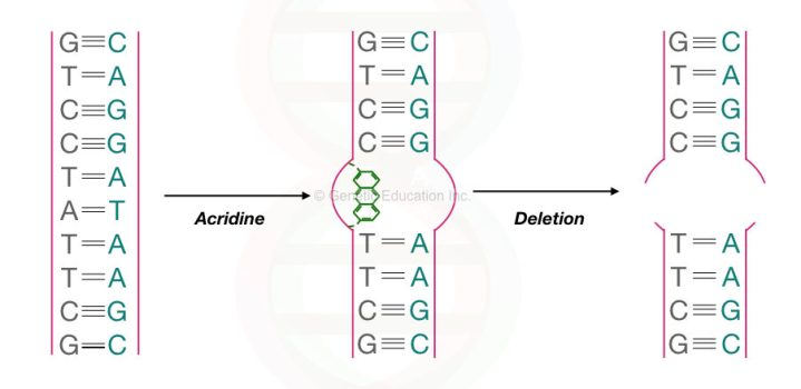 The graphical illustration of the effect of an intercalating agent on DNA.