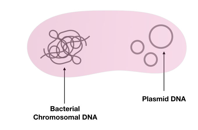 The general structure of bacteria containing plasmid DNA as well as chromosomal DNA.