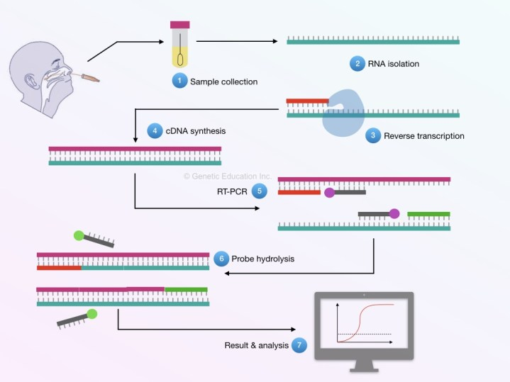 The entire process of the RT-PCR of coronavirus sample.