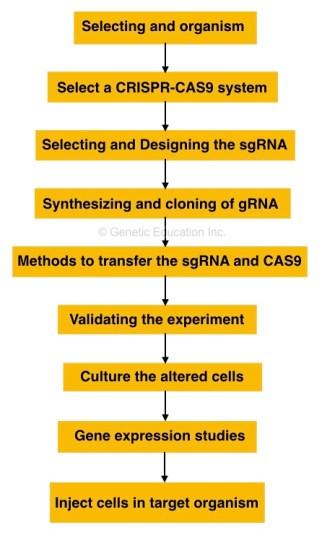 Steps in CRISPR-CAS9 gene editing.