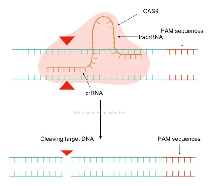 The mechanism of sgRNA mediated gene editing.