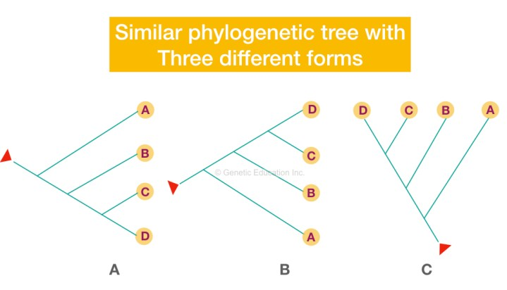 Different topological forms of a single phylogenetic tree.
