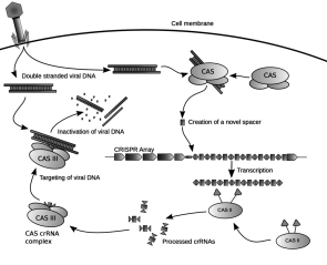 Diagram of CRISPR system via Wikipedia