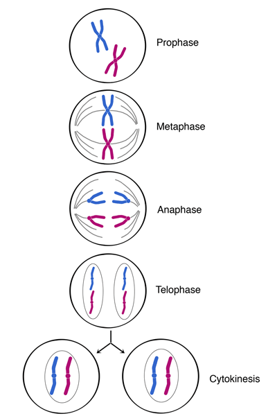 meiosis and mitosis diagram blank electromechanical relay wiring the cell cycle