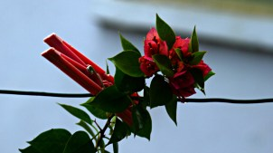clothes pin and bougainvillea