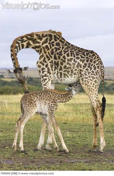 Giraffe (Giraffa camelopardalis) mother and nursing calf, Masai Mara, Kenya