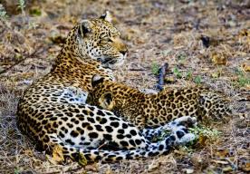 leopardo-che-allatta