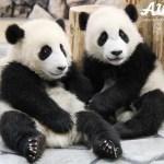パンダは『 シャンシャン』大人気だけど、和歌山『アドベンチャーワールド』の双子パンダが可愛すぎる!