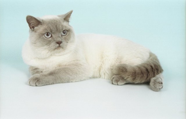 British Shorthair colorpoint