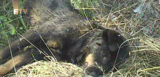 Federal TV footage of the brutally killed dog place next to the planned burial site of 9-month old Amela Ahmetspahic.