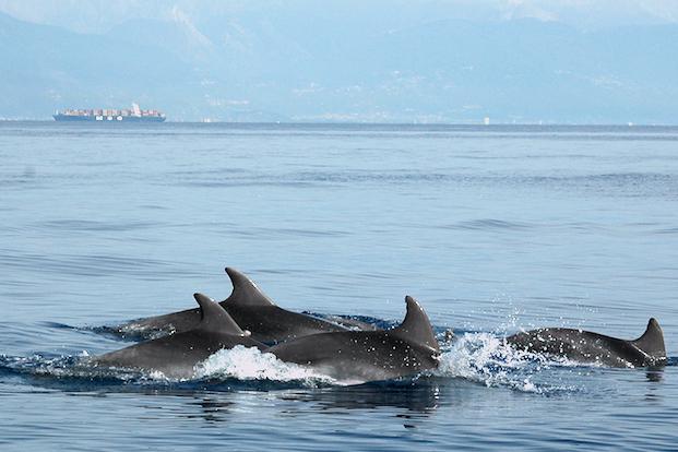 Delfini metropolitani, nasce Tursiomed, il più grande progetto di ricerca sullo stato di conservazione della specie