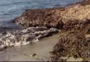 Il business dello smaltimento delle alghe, nei guai funzionari comunali e imprenditori