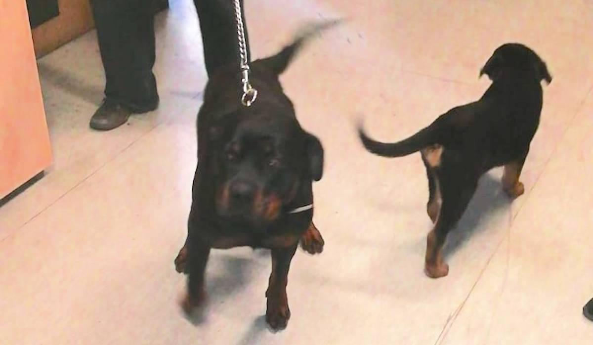 Rottweiler rubati per la seconda volta, ladro fermato dalla polizia locale