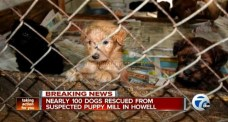 """Still image from article """"100 Dogs Rescued from Squalid Puppy Mill"""". Life with Dogs. Posted By Melanie. 15/05/2014. Original from The Humane Society of United States, 7Abc Breaking news video."""
