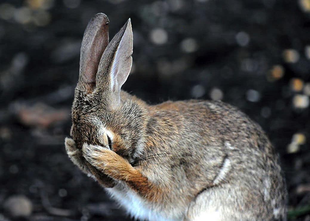 """Rabbit Hiding Face in Embarrassment"" autor Daniel Friend"