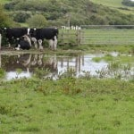 Cow mess need stile