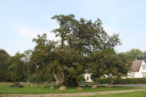 Denmarks oldest tree