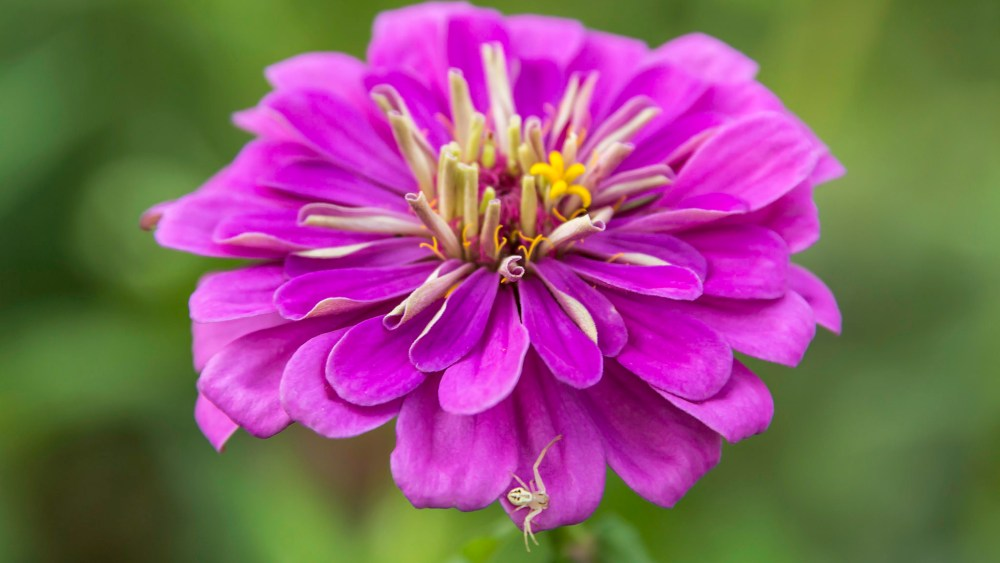 Purple Zinnia Gets a Visitor for Google+