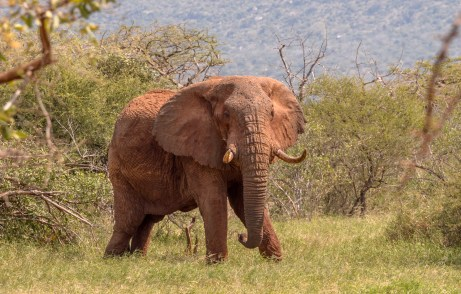 Elephant protected by rnagers.
